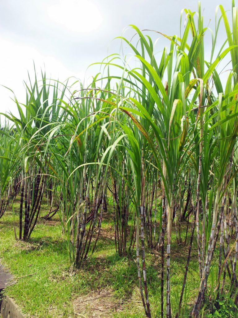 sugar-cane-plant-field